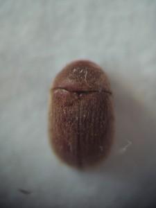 Имаго табачного жука