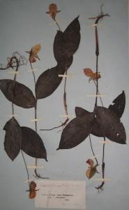 Образец Cypripedium guttatum считается перым сбором П.Н. Крылова по приезду в Томск.