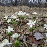 Популяция весенника сибирского