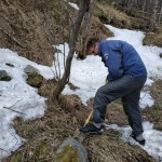 Непросто достать из замерзшей почвы неповрежденные бульбы весенника.