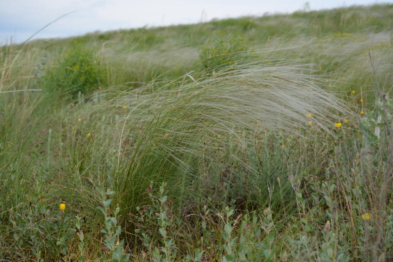 В конце мая в на юго-востоке Казахстана цветут многие виды ковылей.