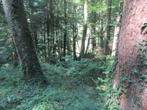 Дремучий еловый лес с подлеском из широколиственных видов (орешник, граб и др.)
